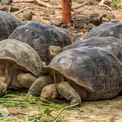 Galápagos Giant Tortoises at the Giant Tortoise Breeding Facility on Isabela Island.
