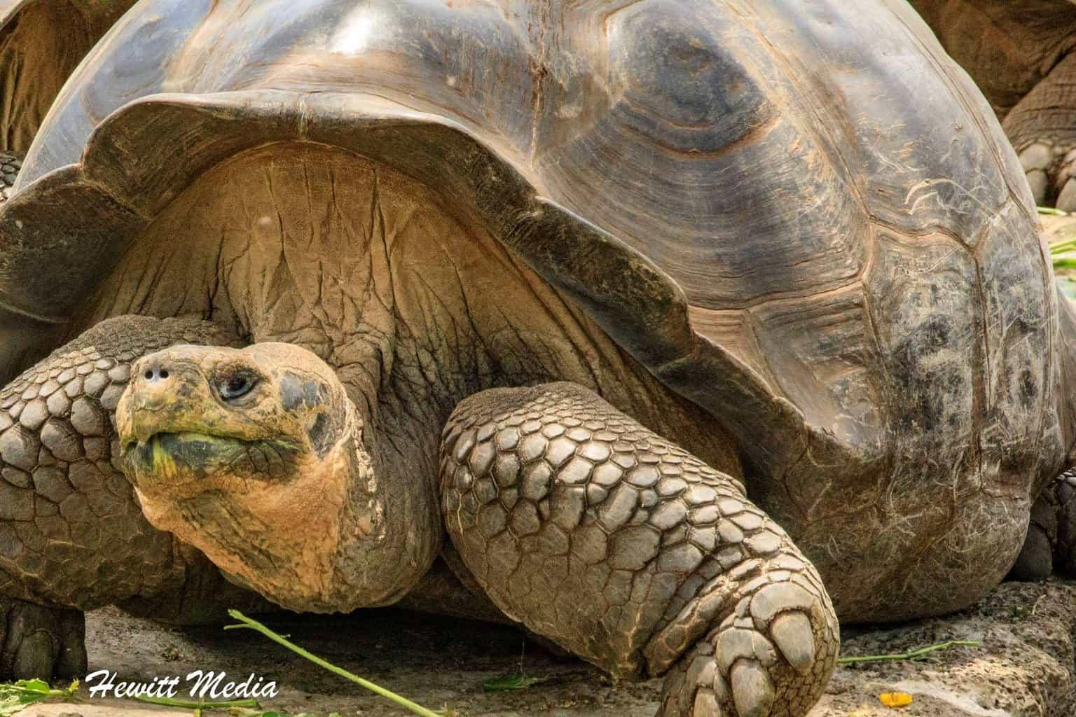 Galápagos Giant Tortoise.