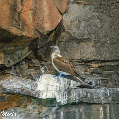 A Blue-footed Booby rests on a rock ledge on Isabela Island.