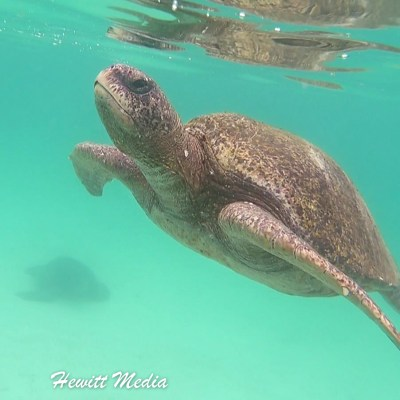 Green Sea Turtle comes up for air.