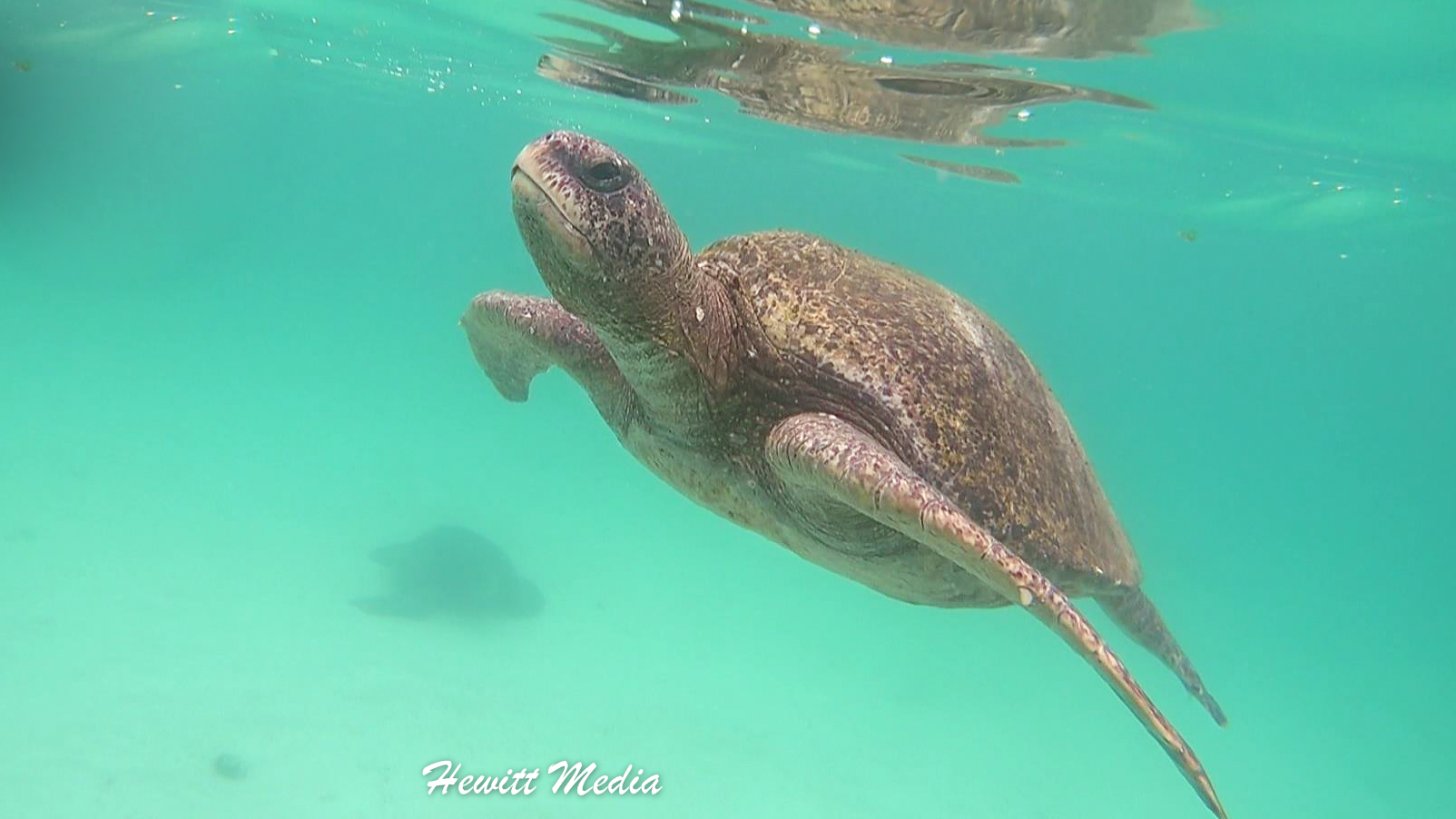 Green Sea Turtle surfaces for air off of Isabela Island.