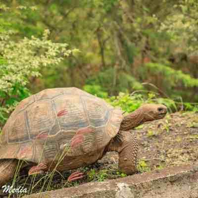 Galápagos Giant Tortoise on Santa Cruz Island.