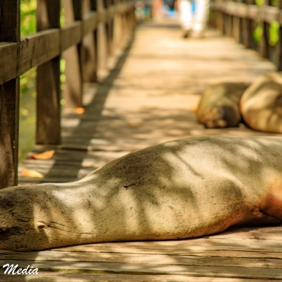Galápagos Sea Lions rest on a dock on Isabela Island.