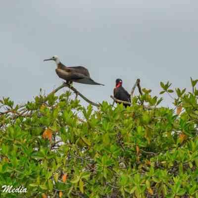Magnificent Frigatebirds on Isabela Island.