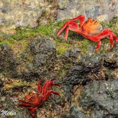 Sally Lightfoot Crabs.