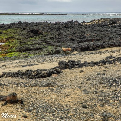 Marine Iguana baths in the sun on Isabela Island.