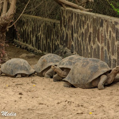 Galápagos Giant Tortoises at the Charles Darwin Research Station on Santa Cruz Island.