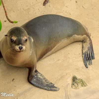 Galápagos Sea Lion on Isabela Island.