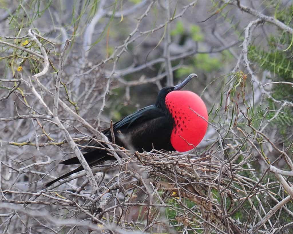 Magnificent Frigatebird.jpg