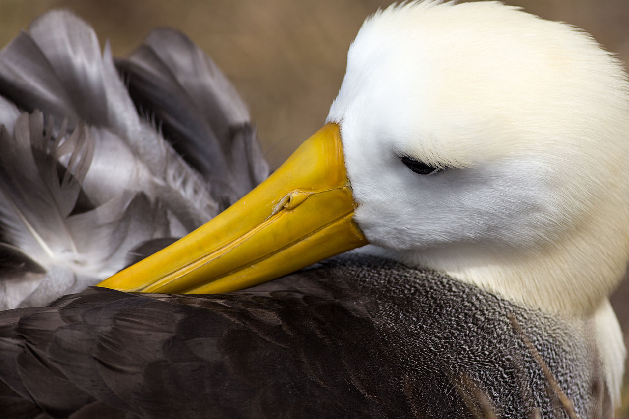 Waved Albatross.jpg
