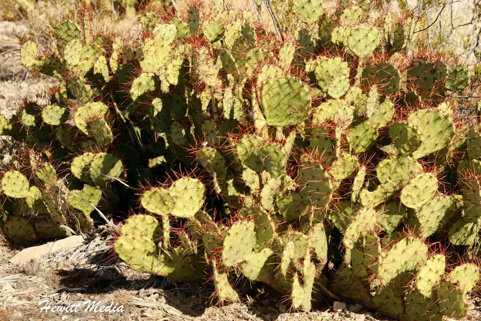 Cactus inside of Big Bend National Park