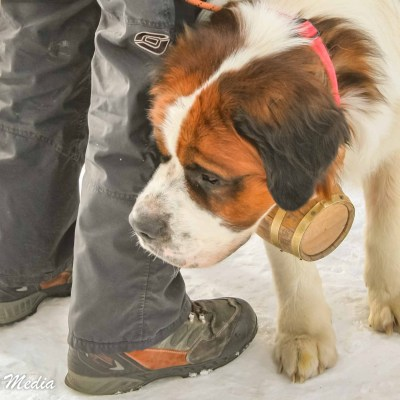 Saint Bernard rescue dog