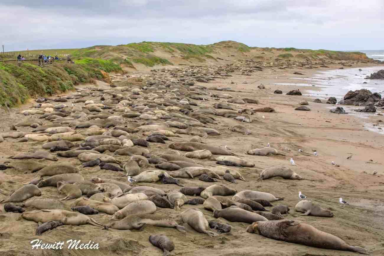 California Elephant Seals Visit-1180