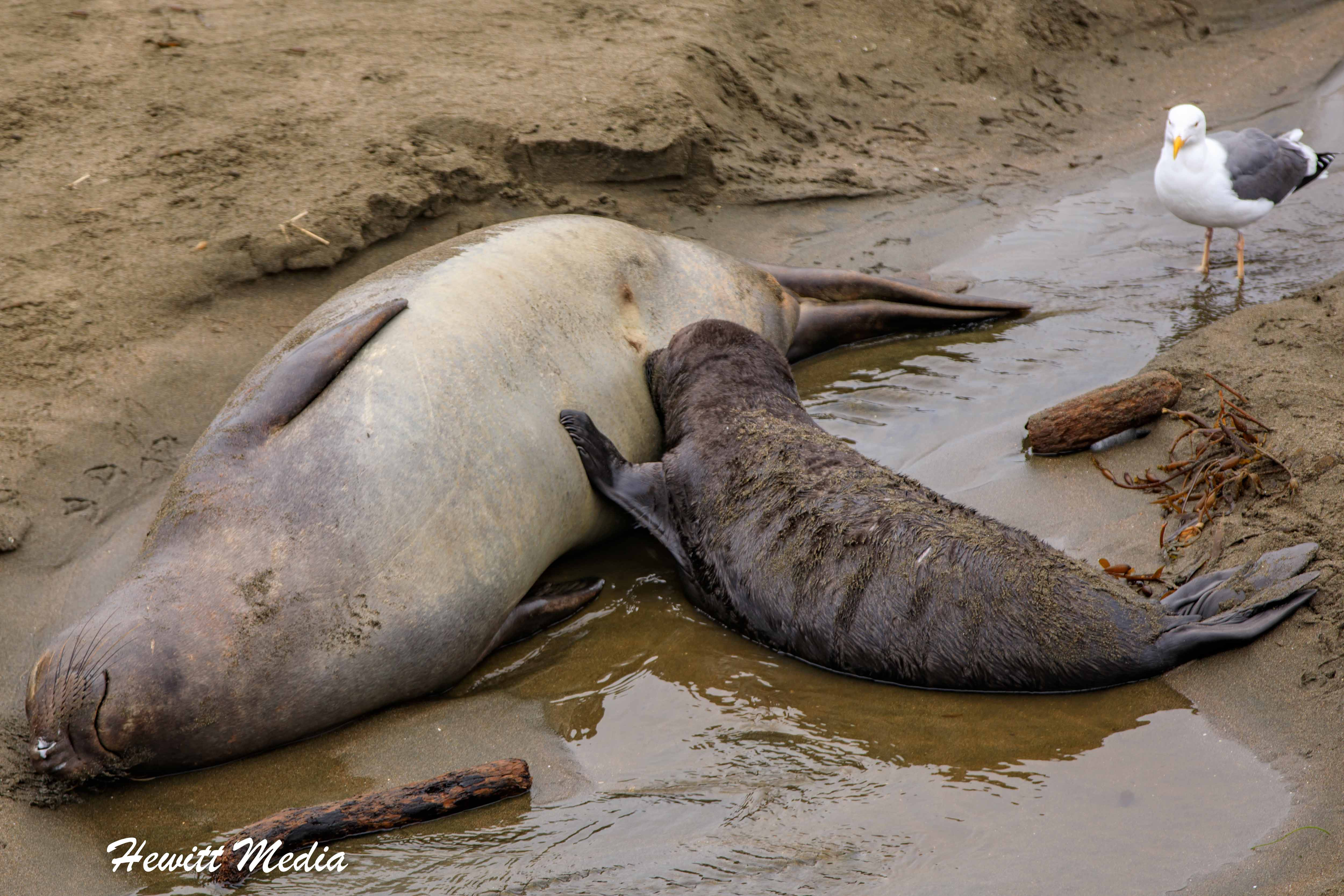 Northern Elephant Seal pup nursing