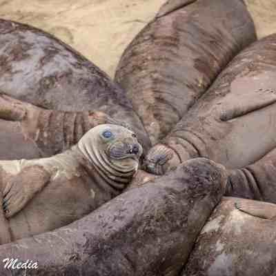 Juvenile Elephant Seals rest together at Point Piedras Blancas