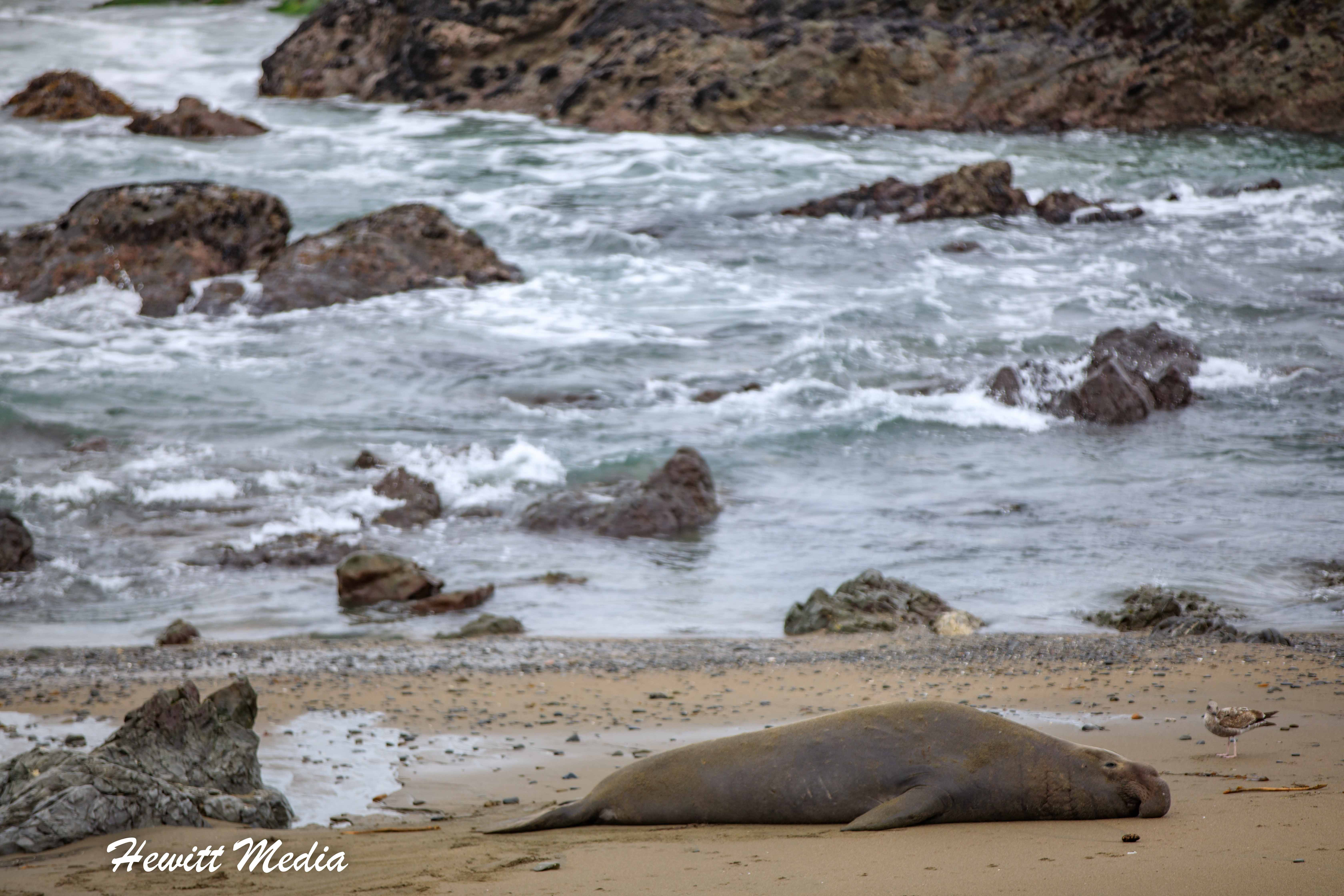 Elephant Seal rests after coming out of the water