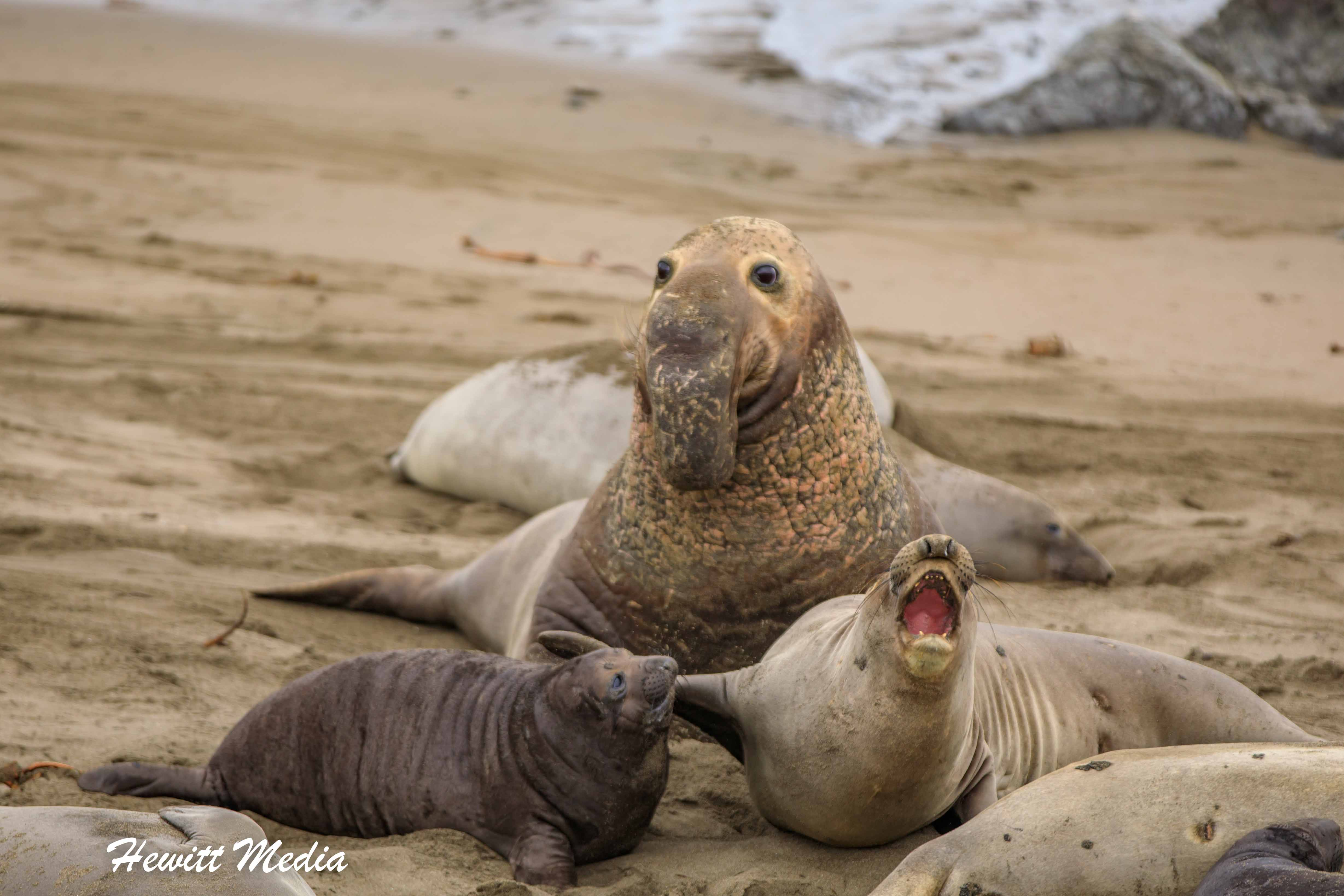Elephant Seals at Point Piedras Blancas