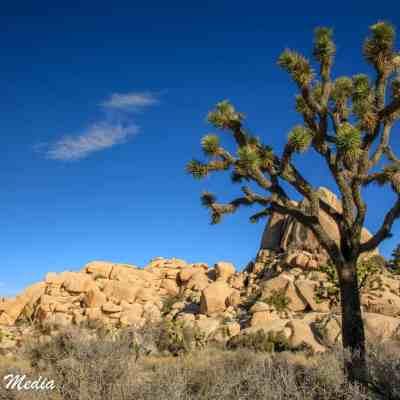 A beautiful Joshua Tree