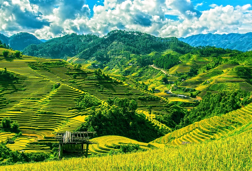 Rice Fields of Vietnam.jpg