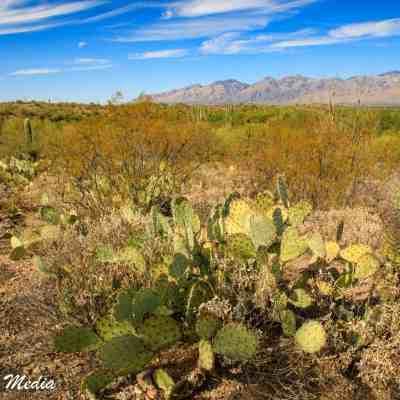 Cactus flowering inside Saguaro National Park