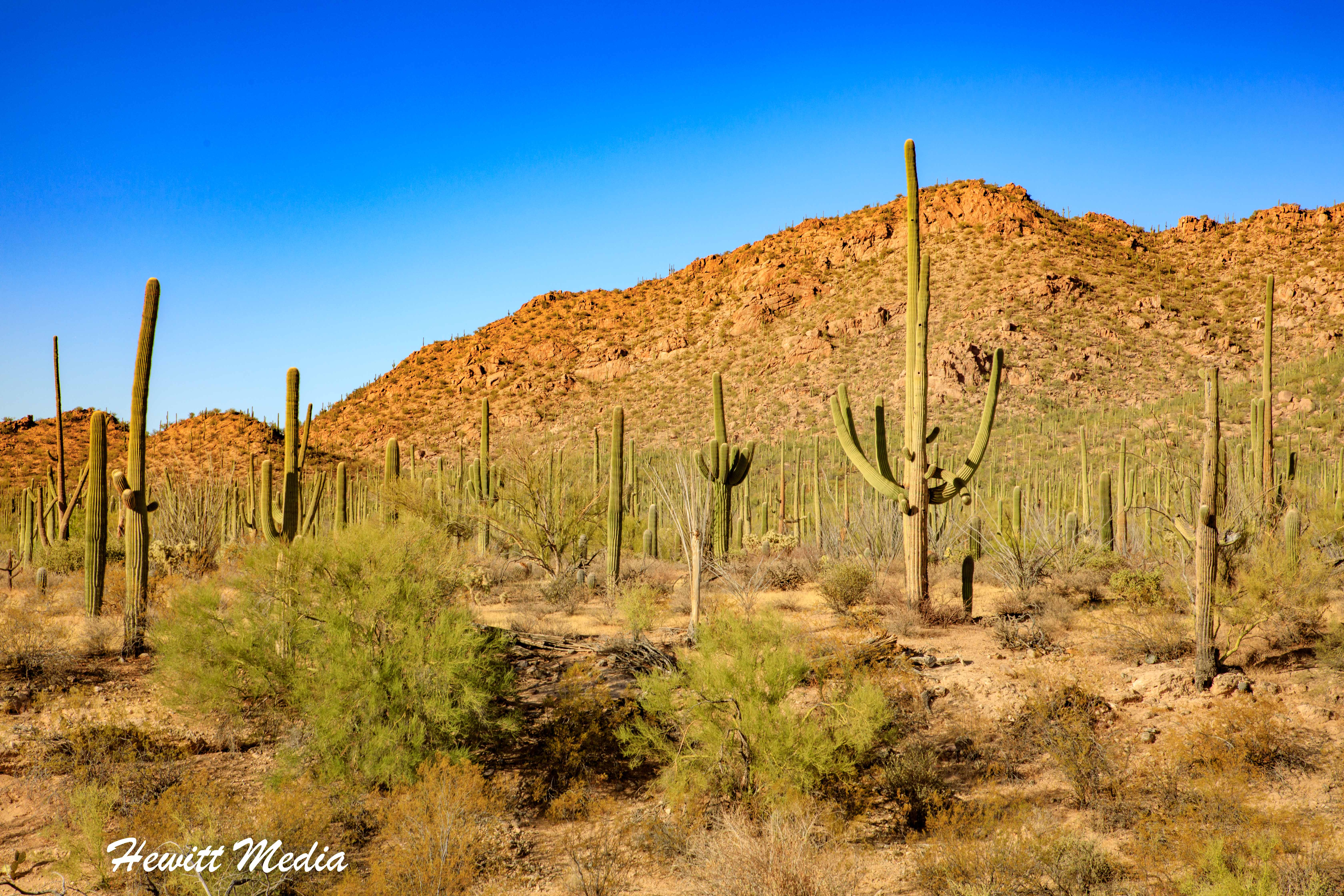 Cactus Forest inside Saguaro National Park