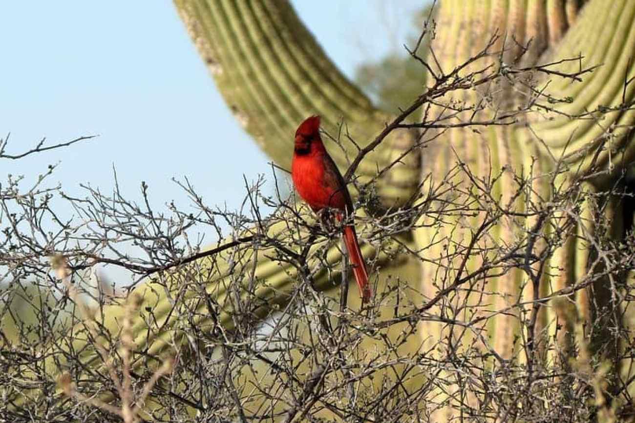 Saguaro Wildlife.jpg