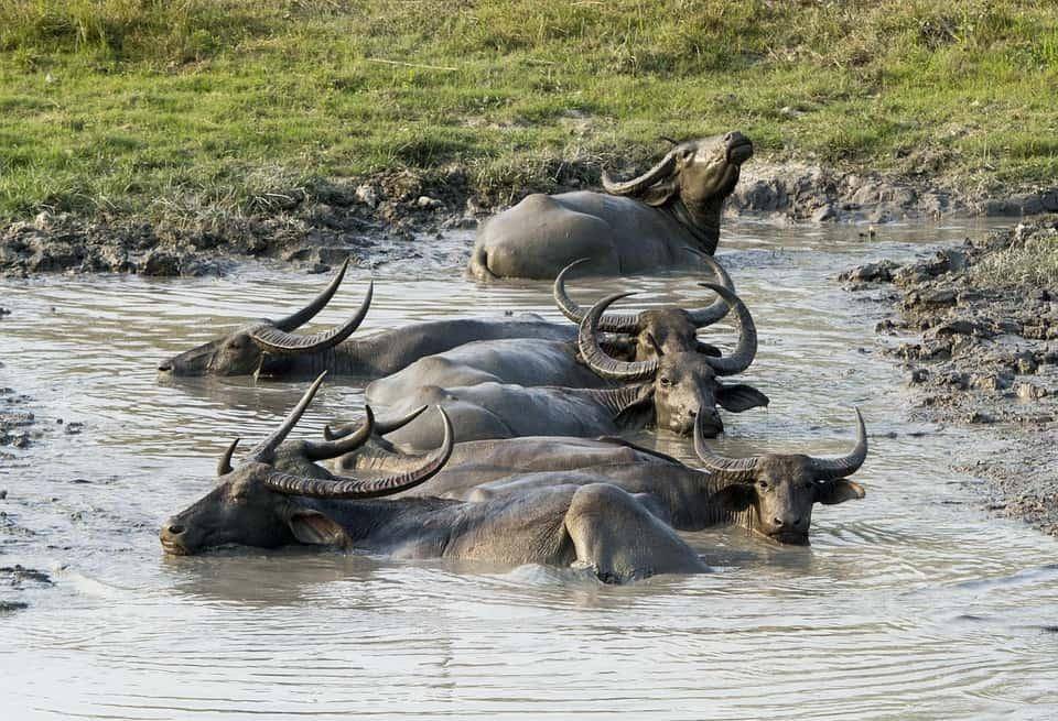 Kaziranga National Park Buffalo.jpg