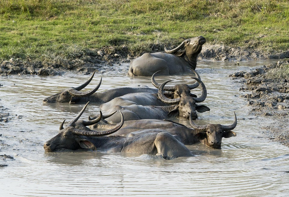 Kaziranga National Park Buffalo.jpg