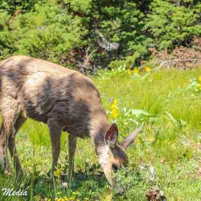 Deer in Grand Teton National Park