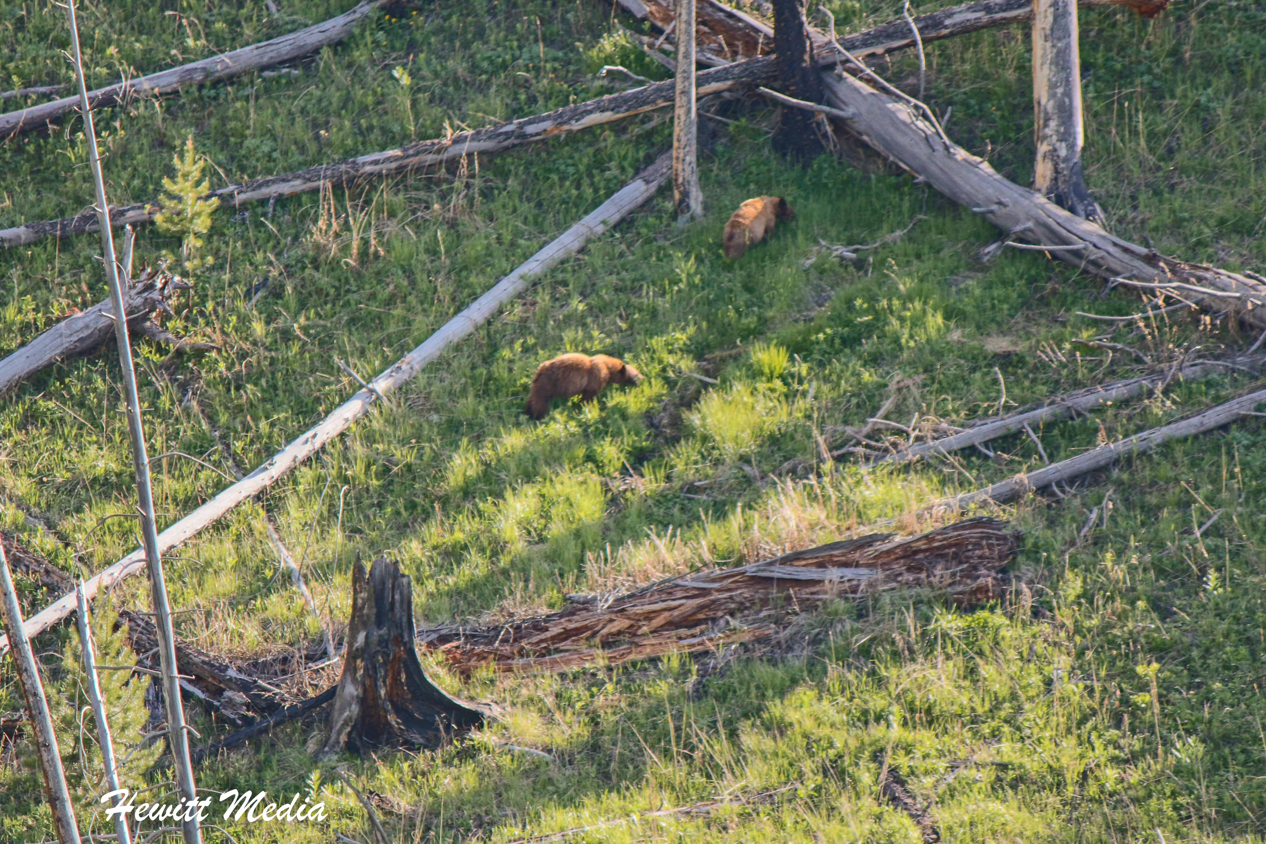 Black Bear with cubs in Yellowstone