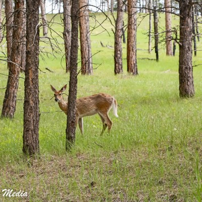 Deer near Devil's Tower National Monument