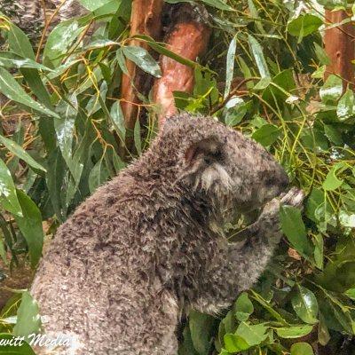 Koala in the Zoo