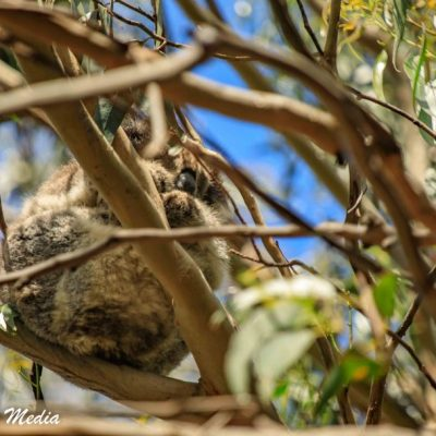 Wild Koala at Kennett River