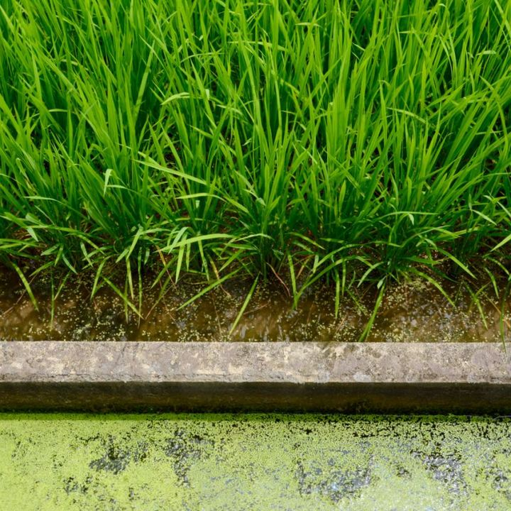 Kibi plain bike ride rice fields