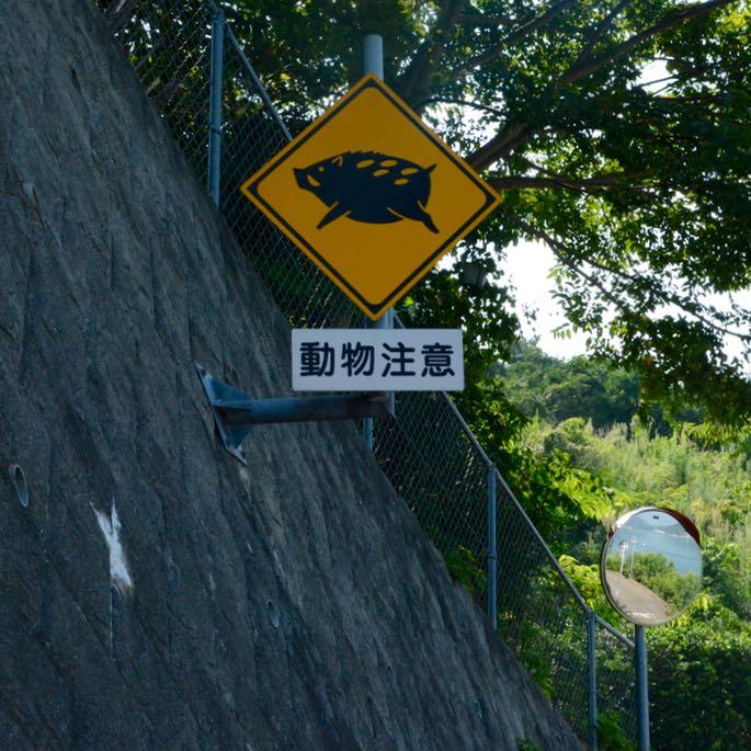 shimanami kaido ikuchijima cycling wild boar