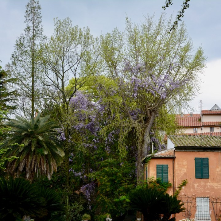 travel with kids children pisa italy botanic garden wisteria bush