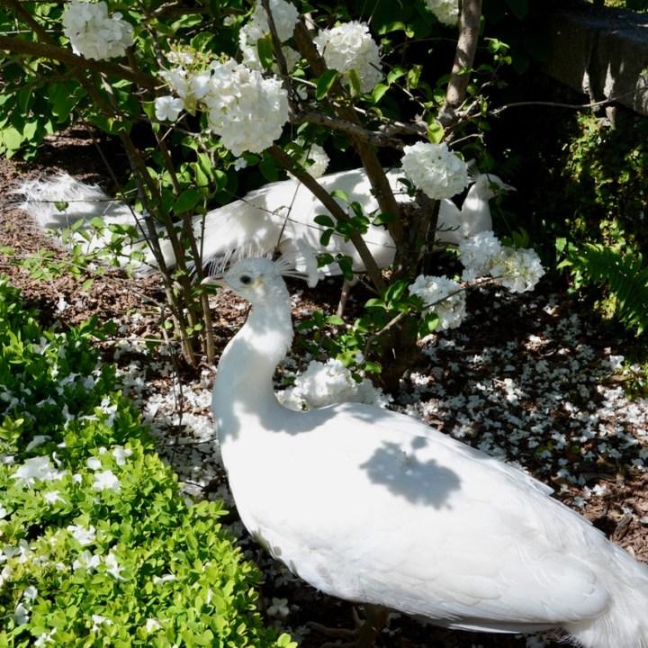 travel with kids children isola bella lago maggiore italy palazzo borromeo garden peacocks