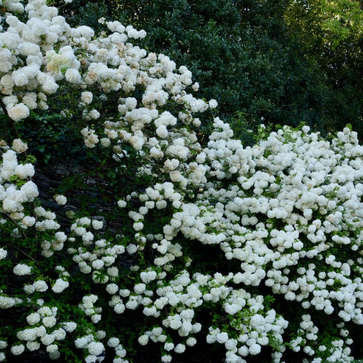 travel with kids children isola madre lago maggiore italy garden snow ball flowers