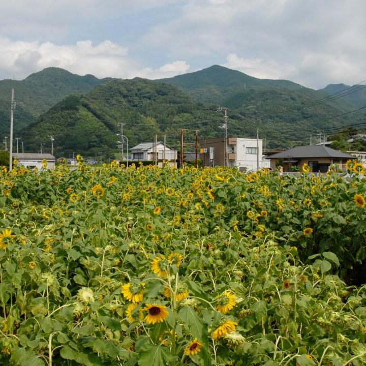 heda japan with kids izu peninsular sunflower field