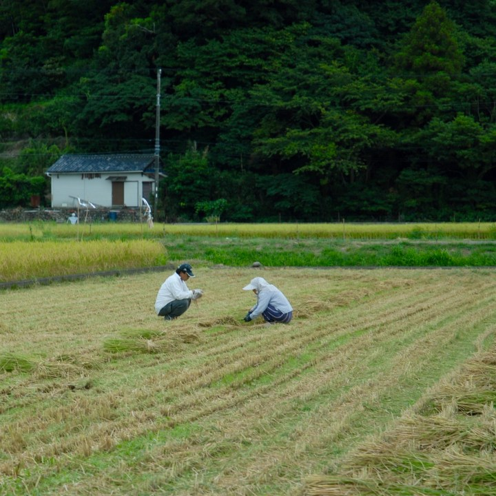 heda japan with kids izu peninsular rice harvest
