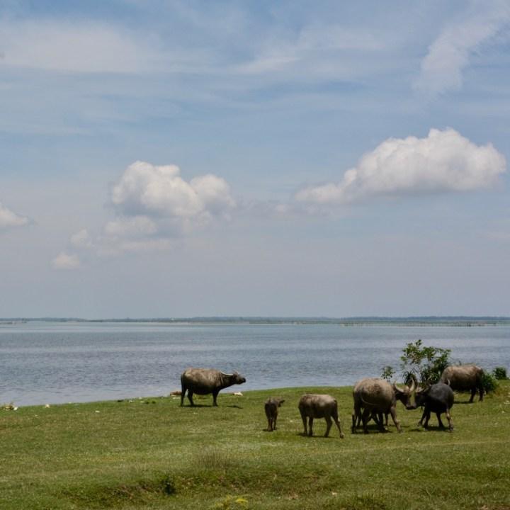 vietnam with kids cai lau lagoon water buffalos
