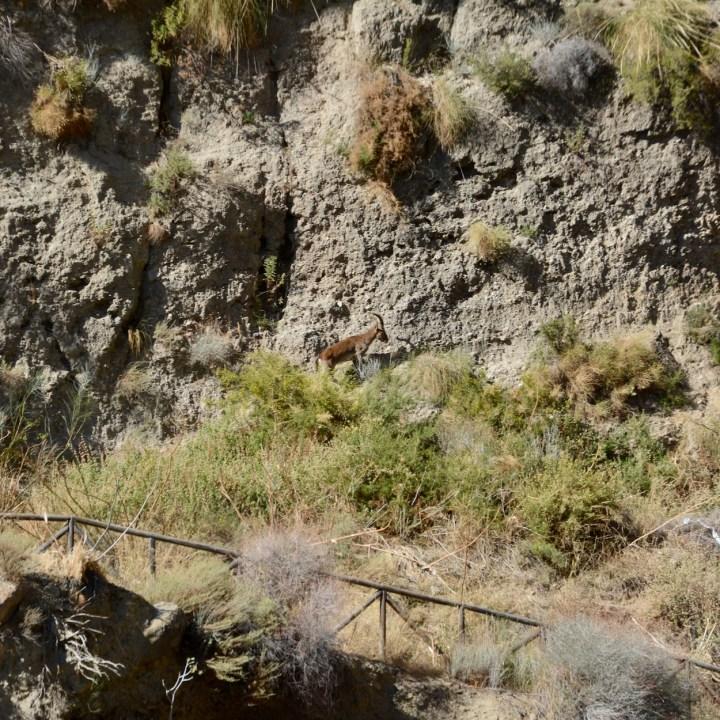 las alpujarras with kids mountain goat