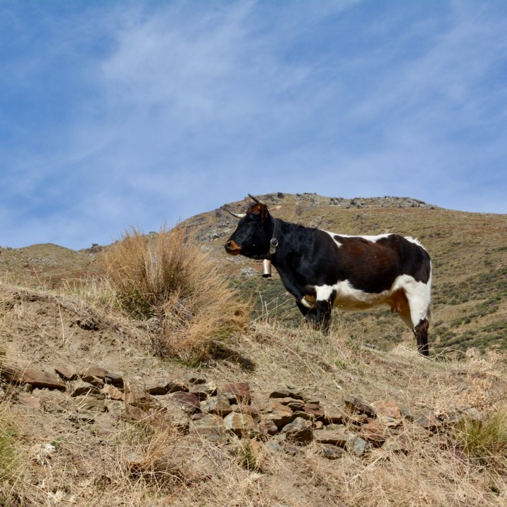 hiking with kids las aplujarras poqueira gorge cow