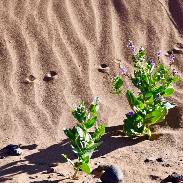 La Kahena luxury camp Erg Chigaga Sahara flowers