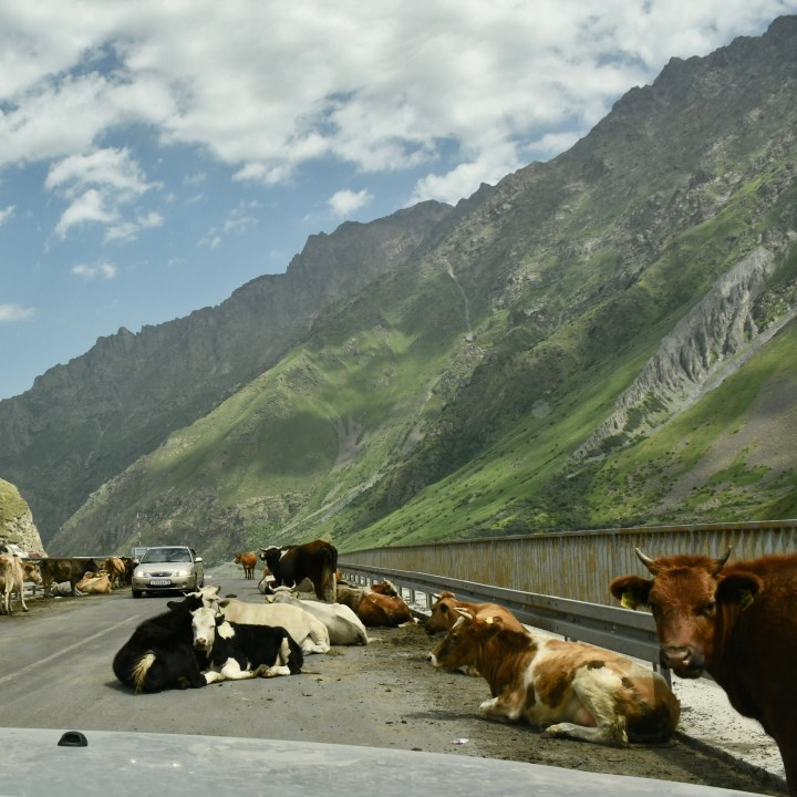 family travel with kids Georgia cows on the bridge