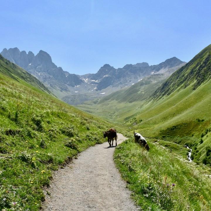 Juta hike cows
