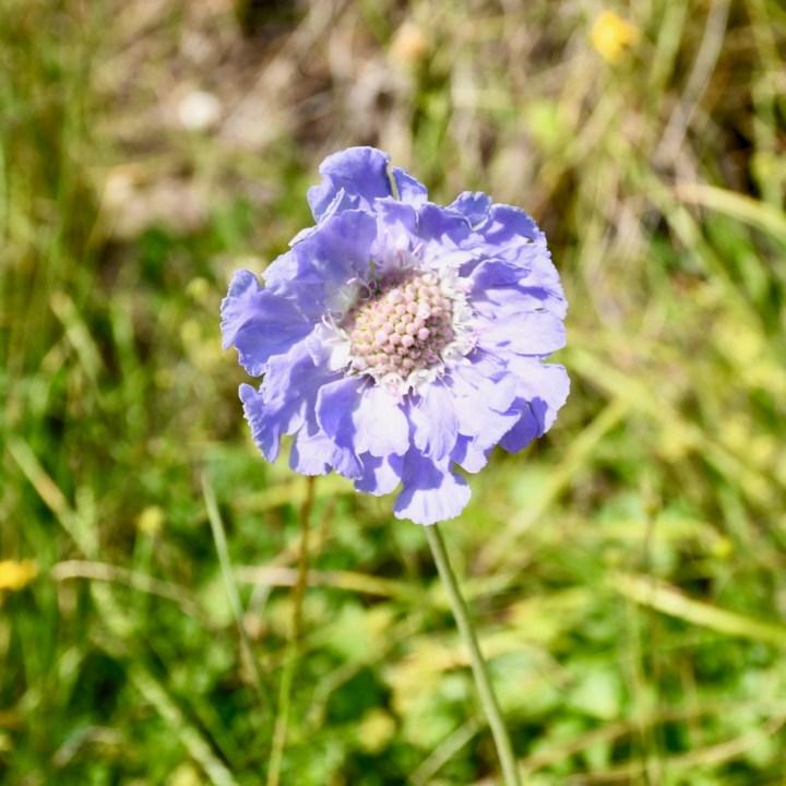 Truso valley hike blue poppy