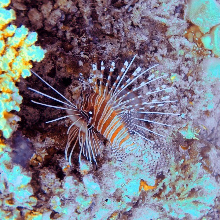 fire fish Maldives
