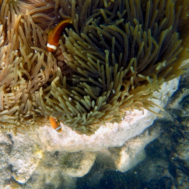 clown fish Maldives