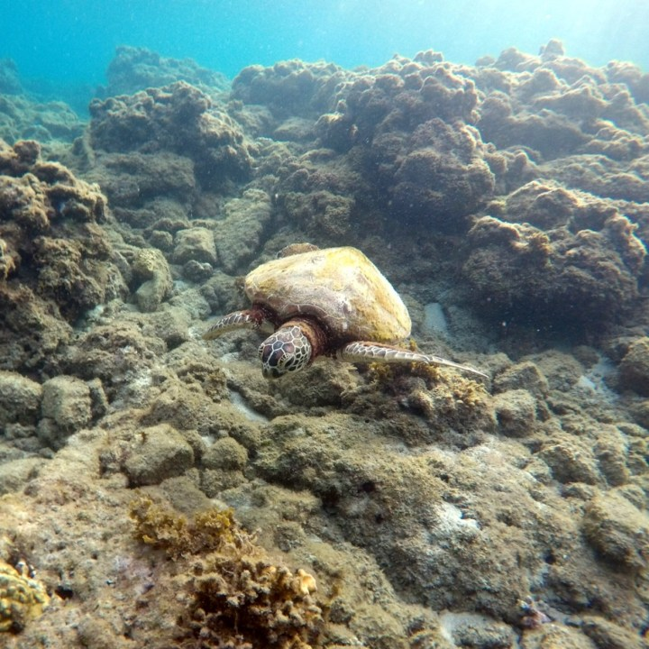 Yakushima swimming with turtle